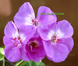 PAC Blue Wonder