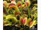 "Dionaea muscipula ""Uk sawtooth 2"""