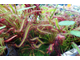 "Drosera ""Capensis Red Leaf"""