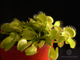 "Dionaea muscipula ""All Green"""
