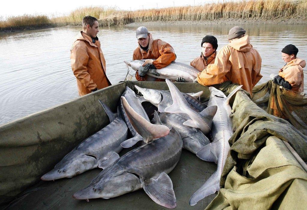рыбалка на каспии на осетра и белугу видео