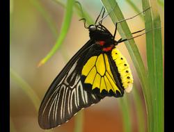 Живая бабочка Золотая Птицекрылка - отличный подарок  на любой праздник в Томске. т. 8-953-921-08-14
