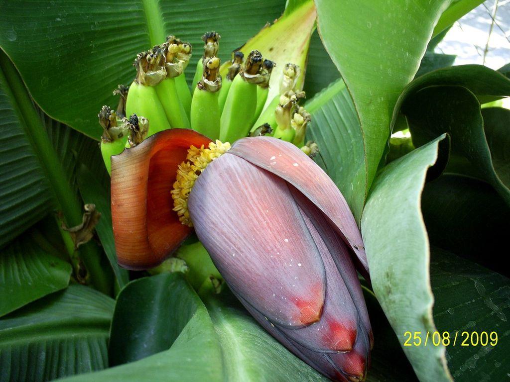 Musa acuminata (Банан заостренный, Кавендиш) - купить семена