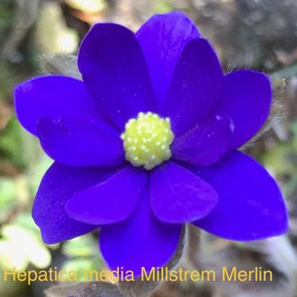 "Hepatica media ""Millstrem Merlin"""