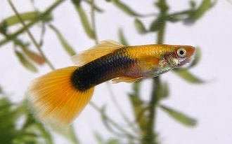 "Гуппи туксидо желтая (Poecilia reticulata) Golden Yellow Tuxedo Guppy Male ""импорт самцы"""