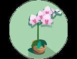 Купить подарочную комнатную орхидею в горшочке  (праздничный предзаказ)