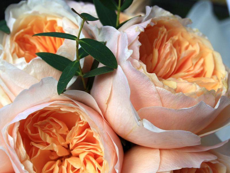 Цветок роза остина
