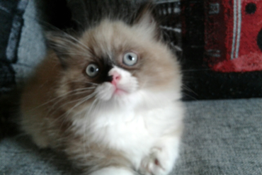 Available munchkin female , Blue eyed