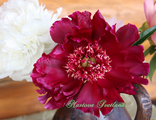 Paeonia Betty Warner