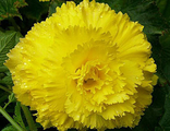 Бегония Fimbriata Yellow, 1 шт