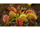 "Dionaea muscipula ""Cropped tooth"""