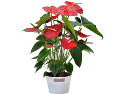 Антуриум Anthurium Dakota 17/75