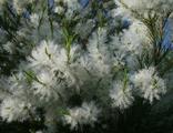 Чайного дерева экстра эфирное масло, 10 мл (Мастерская Олеси Мустаевой)