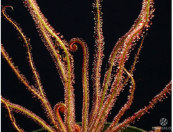 "Drosera ""Filiformis Red"""