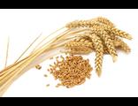 Зародышей пшеницы масло
