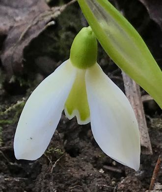 Galanthus woroniwii green