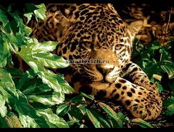 Спокойный леопард, худ. Богл, Коллин