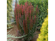 Барбарис тунберга Ред Пиллар (Berberis thunbergii Red Pillar)5л