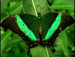 Живая бабочка Парусник Палинур - отличный подарок  на любой праздник в Томске. т. 8-953-921-08-14