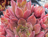 Sempervivum Garden Glory