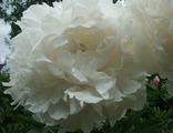 Пион Аншантресс (Paeonia Enchantress)