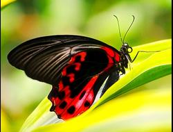 Живая бабочка Парусник Румянцева - отличный подарок  на любой праздник в Томске. т. 8-953-921-08-14