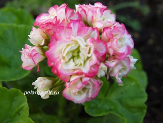 Apple Blossom Rosebud