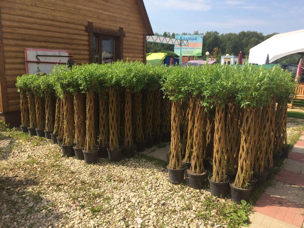 Как сделать живую изгородь из ивы
