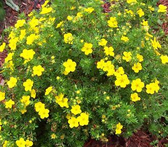 Лапчатка кустарниковая Голдстар (Potentilla fruticosa Goldstar)