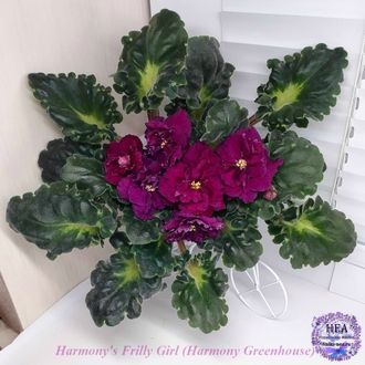 Harmony's Frilly Girl (Harmony Greenhouse)