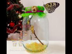 Домашняя ферма по выращиванию бабочек. Можно купить в Томске - Бабочкин дом. т. 8-953-921-08-14
