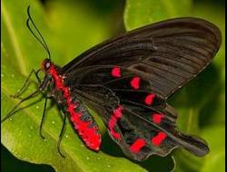 Живая бабочка Парусник Кочубей - отличный подарок  на любой праздник в Томске. т. 8-953-921-08-14
