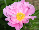 Paeonia Terrific gal