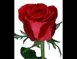 Роза - Rosa