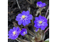 "Hepatica nobilis ""Estonia"""