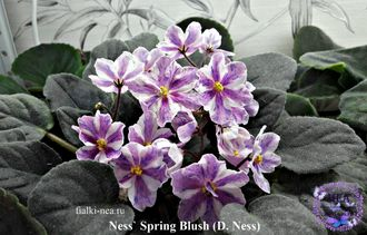 Ness` Spring Blush (D. Ness) химера