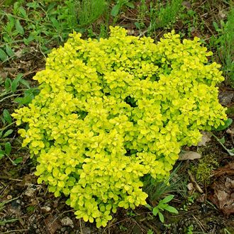 Барбарис тунберга Тини Голд (Berberis thunbergii Tiny Gold) (5l)