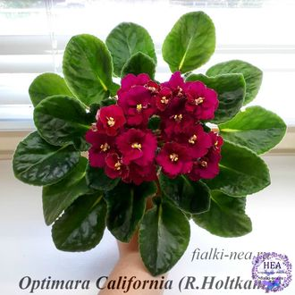 Optimara California, Селекционер: R.Holtkamp