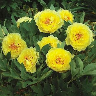 Пион Йеллоу Кроун (Paeonia Yellow Crown)