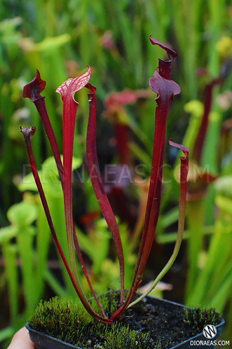 "Sarracenia ""Alata Red tube"""