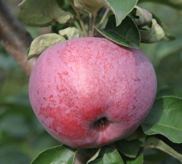 Яблоня подарок графскому описание