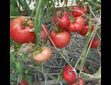 Низкорослые сорта томатов для ОГ