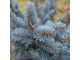 Хупси (Picea pungens hoopsii).