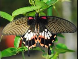 Живая бабочка Парусник Лови - отличный подарок  на любой праздник в Томске. т. 8-953-921-08-14