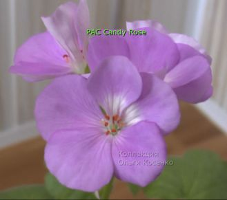 PAC Candy Rose
