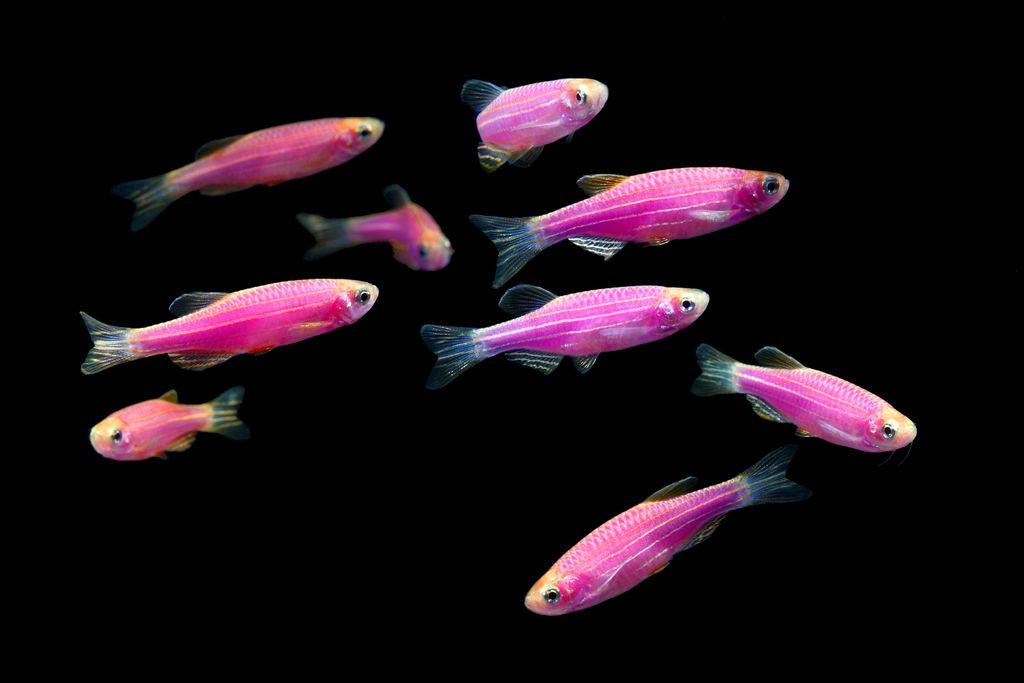 Рыбки данио салатовые фото