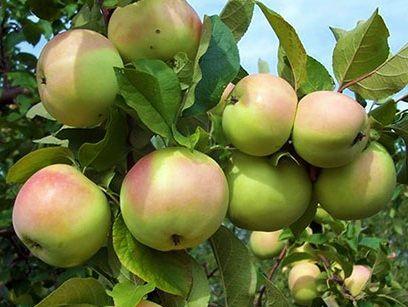 яблоня кутузовец фото