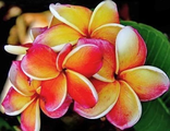 "Plumeria rubra ""King Incredible"" - Плюмерия"