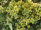 "Euonymus fortunei ""Emerald 'n Gold"""
