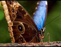 Живая бабочка Голубой Морфо - отличный подарок  на любой праздник в Томске. т. 8-953-921-08-14